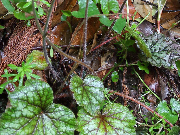 #3 葉柄全体と、茎葉の基部には長毛が生えます