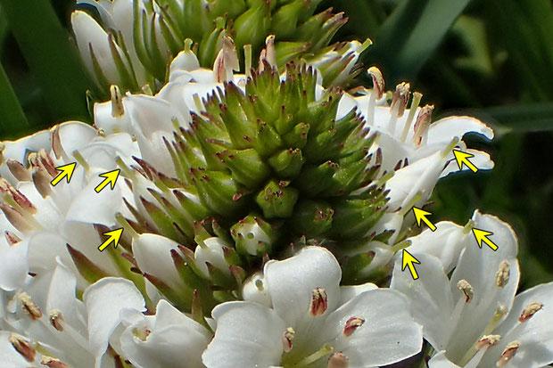 トウサワトラノオの開花直前の花は、花柱が突き出します(矢印部)。 やはり雌性先熟かな? 前回の宿題、完了