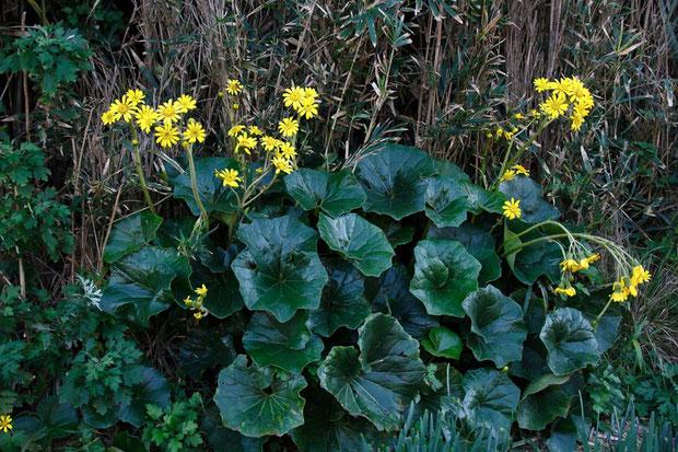 ツワブキ (艶蕗) キク科 ツワブキ属  艶のある大きな葉が特徴です