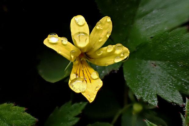 キバナノコマノツメ 朝露の水滴をたくさんつけた花があった