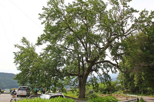 ハナノキ (花の木) ムクロジ科 カエデ属  雌雄異株。この木は雄株
