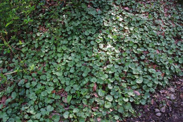 ユキノシタの葉-1