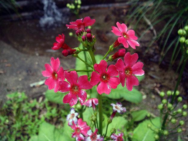 クリンソウの花は、2〜5段輪状に咲かせます