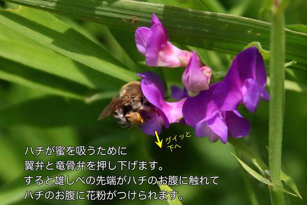 翼弁と竜骨弁が下げられることで雄しべが露出し、花粉がハチのお腹につけられます