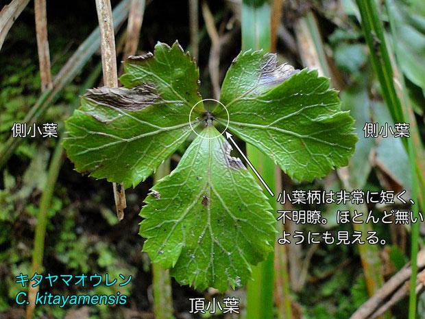 #5 キタヤマオウレン Coptis kitayamensis の三裂葉