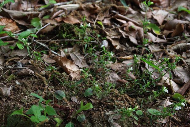 クチナシグサ (梔子草) ハマウツボ科 クチナシグサ属