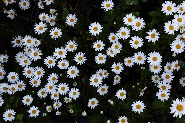 ハマギクは青森県から茨城県までの太平洋岸に分布します。 草本ではなく完全な木本になる、数少ないキク科植物