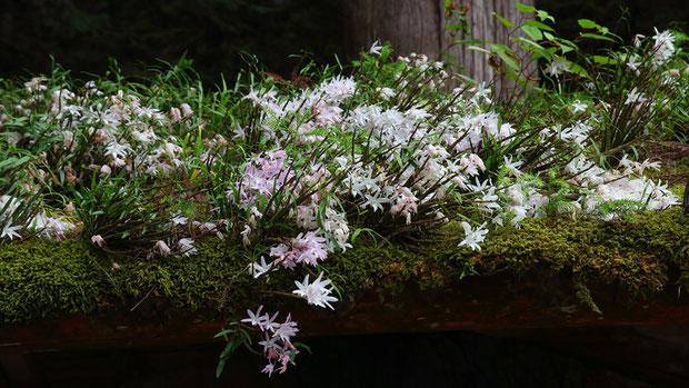 セッコク (石斛) ラン科 セッコク属  たとえ屋根の上でも、自然に咲いた姿は美しい