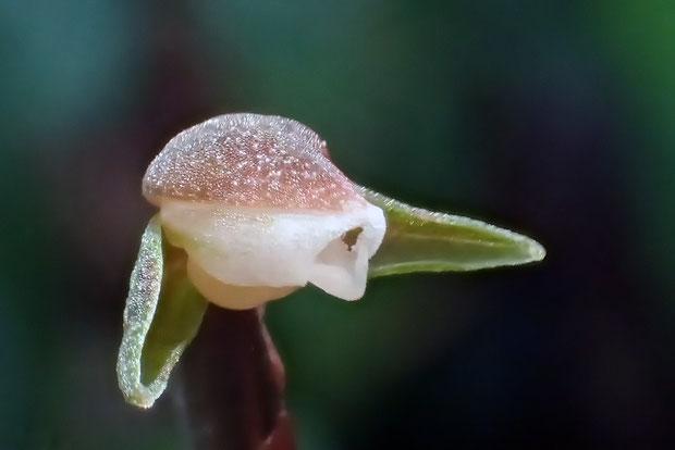 #8 カゲロウランの花 斜め正面