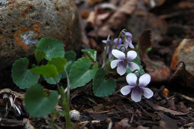 トウカイスミレ (東海菫) スミレ科 スミレ属  葉は心形で、縦横はほぼ同長、縁に粗く低い鋸歯がある