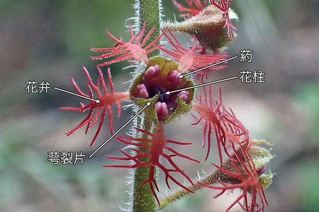#9 ミカワチャルメルソウの花の正面