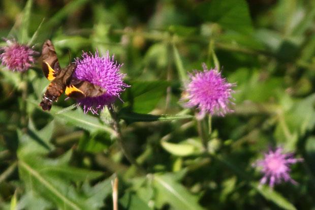 ホシホウジャク (星蜂雀) スズメガ科 ホウジャク属  20年位前に初めて見た時は、ハチドリかと思った