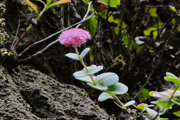 エッチュウミセバヤ  日本固有種で、富山県唯一の固有種でもある  環境省指定絶滅危惧Ⅱ類