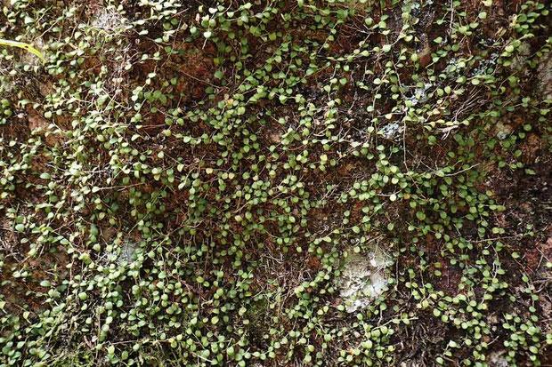 #5 岩に着生したマメヅタラン  縦横無尽に根茎を張り巡らせ、葉をたくさんつけていた