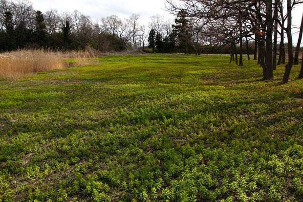 藪が刈り取られ、ノウルシの生える面積が増えた気がする