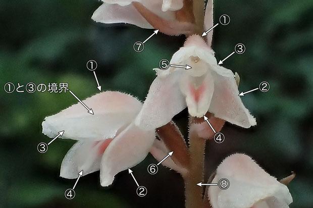 #9 シュスランの花の構造