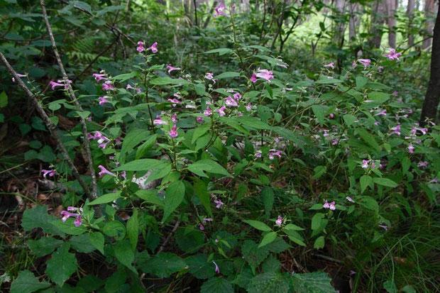 ミヤマママコナ (深山飯子菜) ハマウツボ科 ママコナ属  たくさん咲いていた