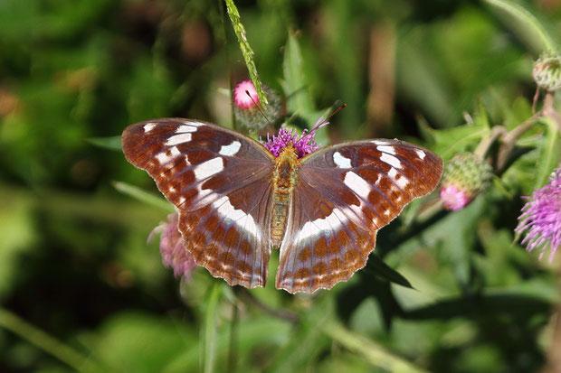 メスグロヒョウモン (雌黒豹紋) タテハチョウ科 メスグロヒョウモン属 のメス