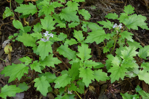 オウギカズラ (扇葛) シソ科 キランソウ属   2株しか咲き残っていなかった