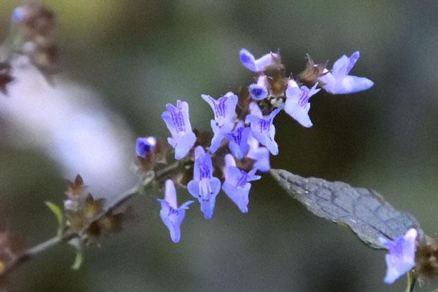 ヤマハッカ (山薄荷) シソ科 ヤマハッカ属  花は間もなく終わり
