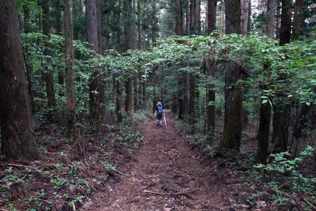 スズムシソウの自生地はこんな雰囲気。 針葉樹が生い茂るやや暗い林下で、地面は柔らかい土でした