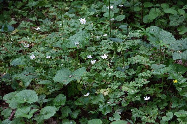 ニリンソウ (二輪草) キンポウゲ科 イチリンソウ属  今年も頑張って咲きました