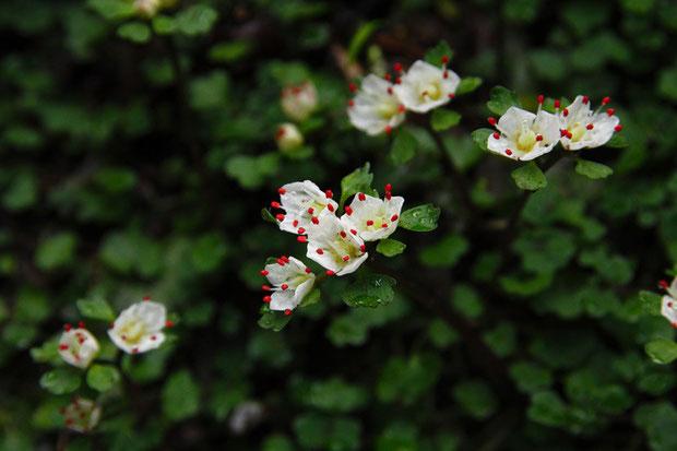 ハナネコノメ 2012.03.10 東京都