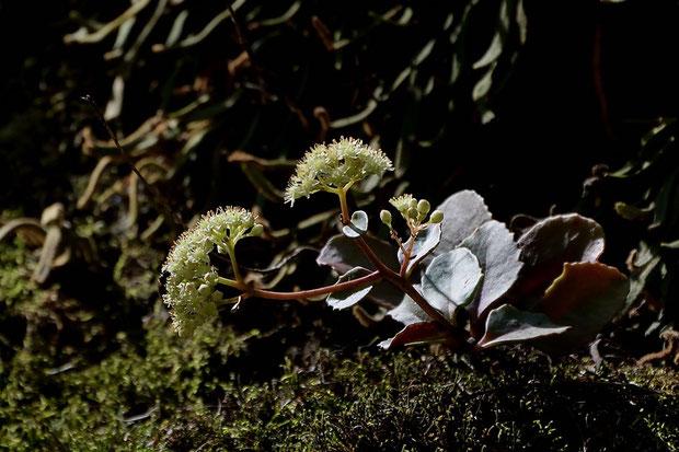 チチッパベンケイ (乳葉弁慶) ベンケイソウ科 ムラサキベンケイソウ属  日本固有種
