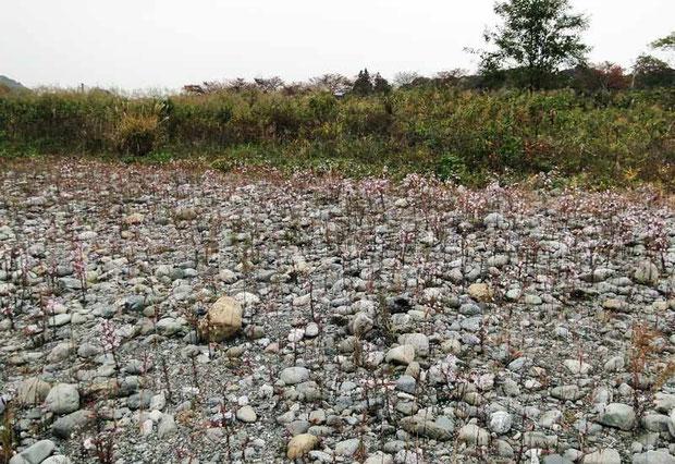 カワラノギク自生地 2010年11月の河原の状態
