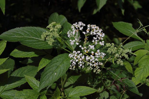 ソクズの葉と花序。 葉は奇数羽状複葉で対生。 花序の上部は平坦。 まだつぼみも多かった。