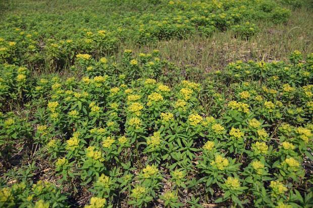 ノウルシ  群れて咲くことが多いですが、今や貴重な植物です