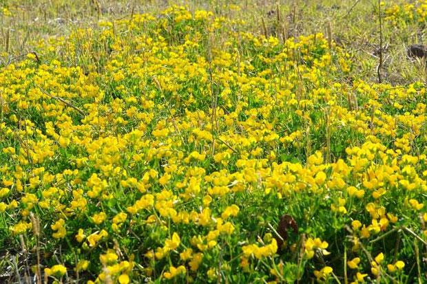 セイヨウミヤコグサ  ヨーロッパ原産の帰化植物