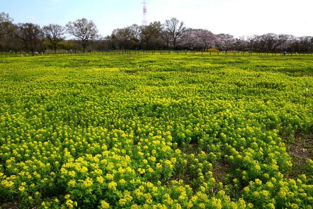 さいたま市田島ヶ原サクラソウの自生地 ノウルシの数が大幅に増えたように見える。 2017.04.05
