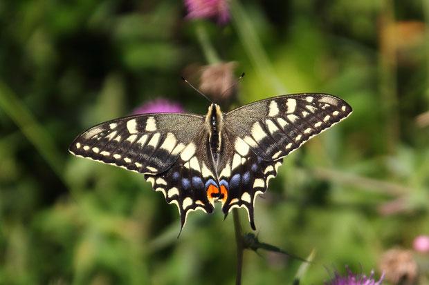 キアゲハ (黃揚羽) アゲハチョウ科 アゲハチョウ属  夏型のオス
