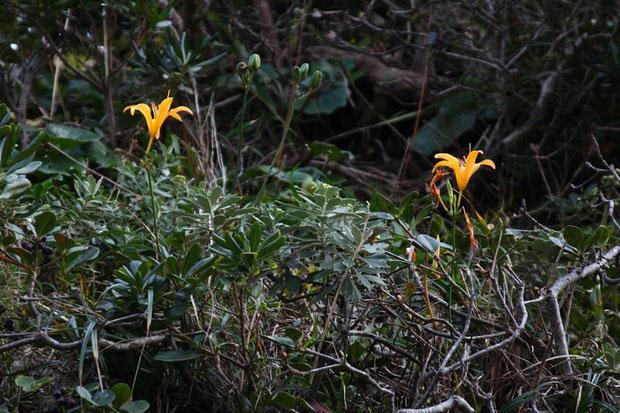 ハマカンゾウ (浜萱草) ワスレグサ科 ワスレグサ属  崖の上に咲いていた