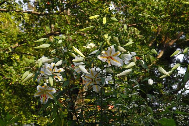 ヤマユリ (山百合) ユリ科 ユリ属  豪華な花。あたりに甘い芳香を放っていました