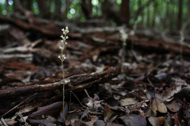 和名は1903年に岐阜県の恵那山山麓で、桜井半三郎氏によって発見されたことに由来します