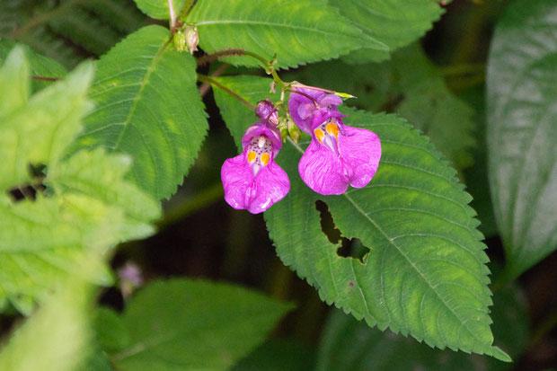 ツリフネソウ  関東地方で見かけるものより花が大きく思える