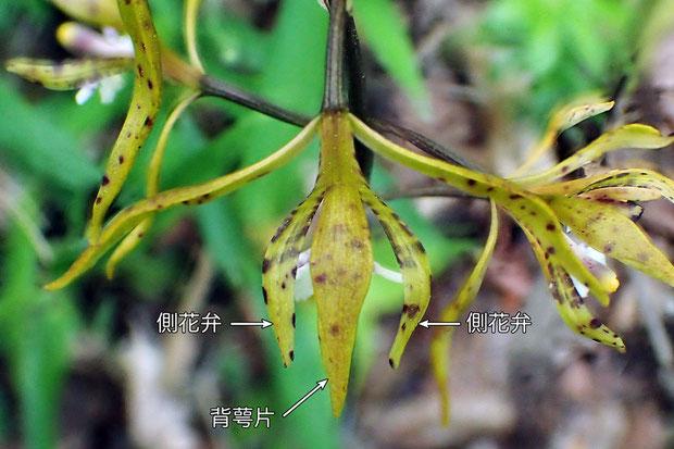 #9 トケンランの花の上面  背萼片と側花弁で真下の蕊柱をガードしているかのように見えます