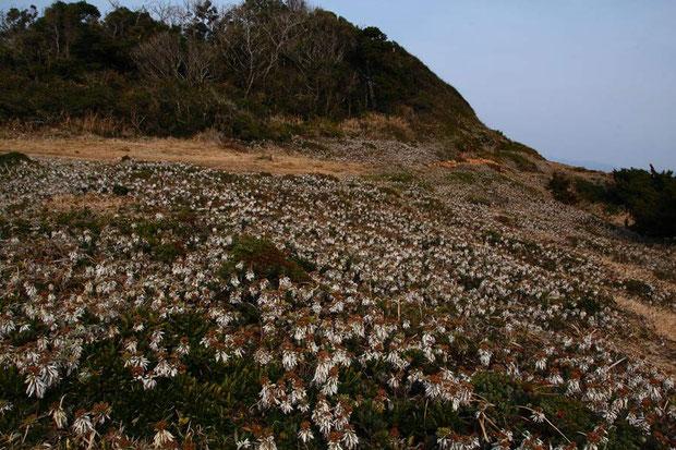 イソギクの群生 枯れて葉が巻き込み、白い裏面が目立つ