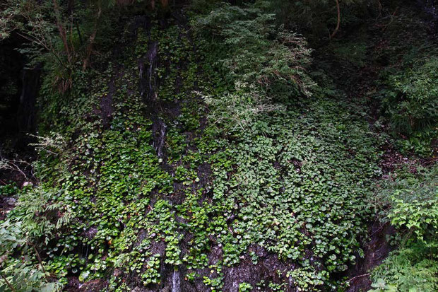 水が滴る垂直に近い岩肌 左半分をダイモンジソウが埋めつくす 右側は別の植物