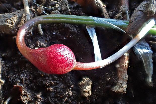 ヒメニラのこの鱗茎は通常の鱗茎(上の写真の白っぽいもの)と異なり、ストロンの先につく特殊な鱗茎のようです