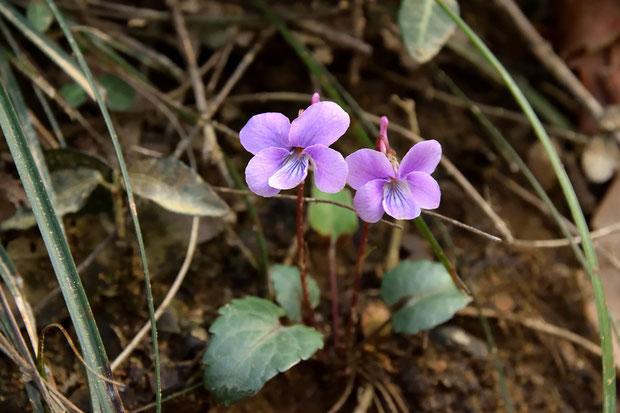 シハイスミレ  デジカメは紫色系の色再現が苦手。「らしい色」を再現するのに苦労しました。