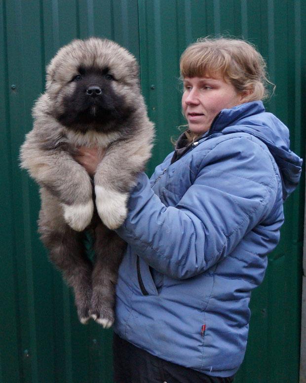 щенки кавказской овчарки,кавказская овчарка,