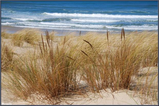 """Oyats avec épis sur une dunette, en bordure de la plage océane du """"Petit Nice"""", flore Bassin d'Arcachon (33)"""