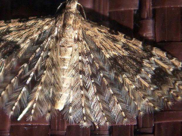 Flügelausschnitt von Alucita hexadactyla (Alucitidae / Federgeistchen)