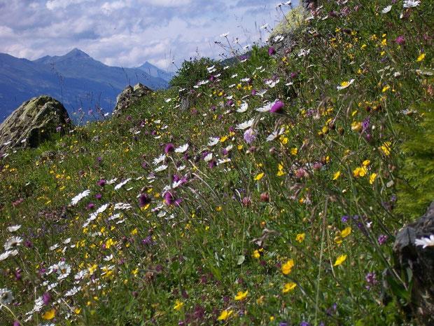 Alpwiese im Kanton Graubünden