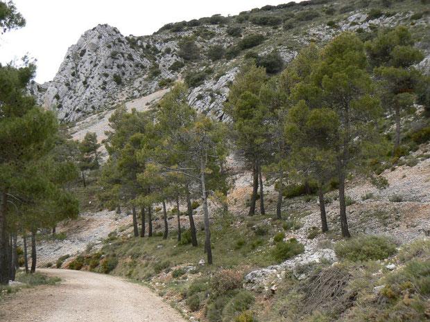 lichter Pinienwald im Karstgebirge
