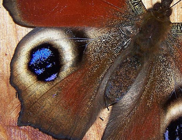 Flügelausschnitt von Aglais io (Inachis io) (Tagpfauenauge)