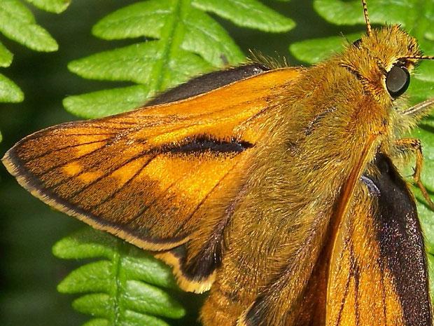 Duftschuppenstrich auf Vorderflügeloberseite beim Männchen von Ochlodes sylvanus als schwarzer Strich